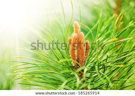 Young shoots of pine trees in the forest spring  - stock photo