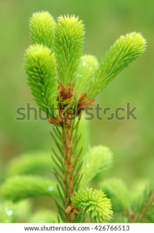 Young shoots of spruce trees after rain in the spring