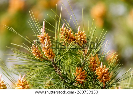 Young shoots on the branches of Mediterranean pine - stock photo