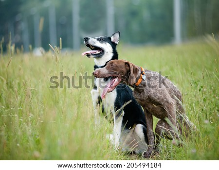 Young short-haired german pointer and siberian husky - stock photo