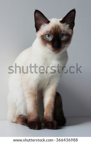 Young siamese cat with blue eyes - stock photo