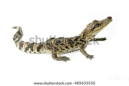 young siamese crocodile isolated on white background