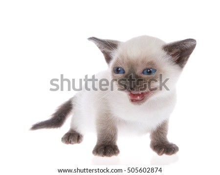 Young siamese kitten with munchkin characteristics, smaller than average, isolated on a white background. Standing, with blue eyes looking to viewers left, mouth open meowing, talking. Tail down.