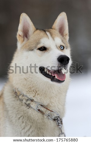 Young siberian husky dog in snow - stock photo