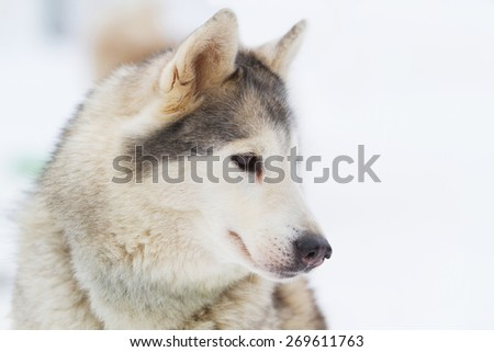 Young siberian Husky on white snow