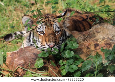 young Siberian Tiger - stock photo
