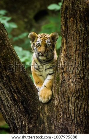 Young Siberian tiger climbing in a tree