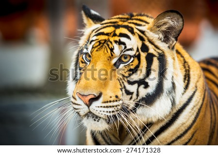 Young siberian tiger in action of looking at something - stock photo