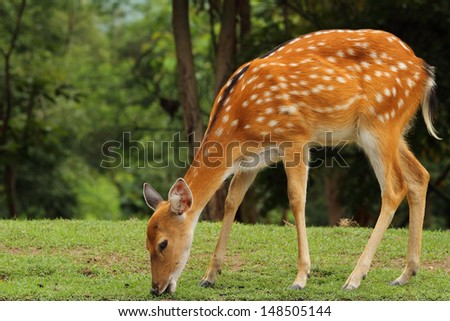 young sika deer eating grass