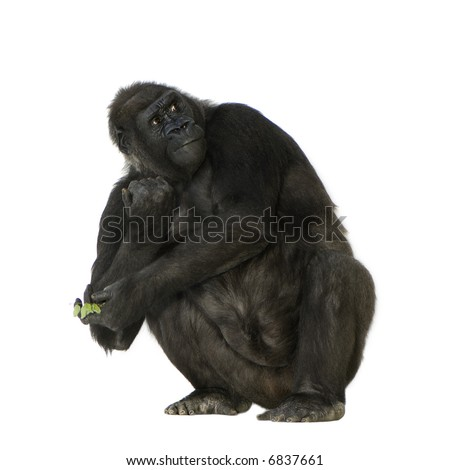 Young Silverback Gorilla in front of a white background - stock photo