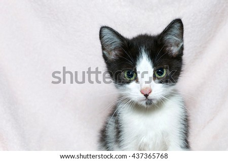 Young six week old black and white tabby kitten, portrait of on light pink blanket, copy space to left of kitty - stock photo