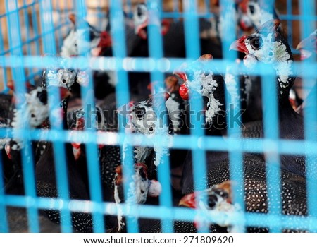 young small birds like wild turkey chickens in blue steel fence cage in a pet shop market in THAILAND - stock photo