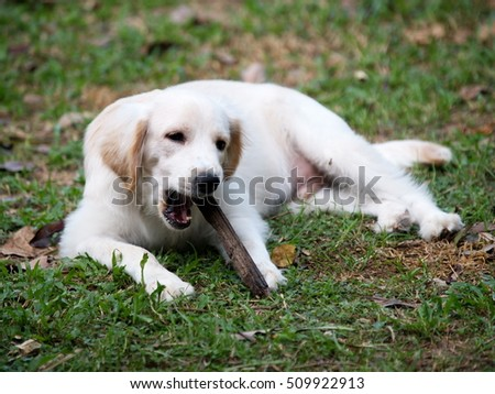 young small cute lovely compact size crossbreed puppy dog from two or more toys purebred white pastel beige colour long fur and ears black eyes playing on green grass garden floor, natural sunlight