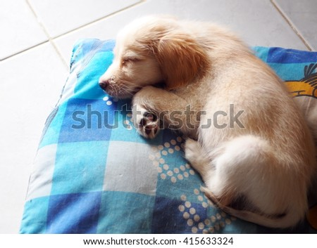 young small cute lovely mini size crossbreed puppy dog from two or more toys purebred white pastel beige colour long fur and ears black eyes laying surrounding with home environment bokeh background - stock photo