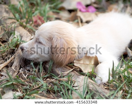 young small cute lovely mini size crossbreed puppy dog from two or more toys purebred white pastel beige colour long fur and ears black eyes laying surrounding with home environment bokeh background