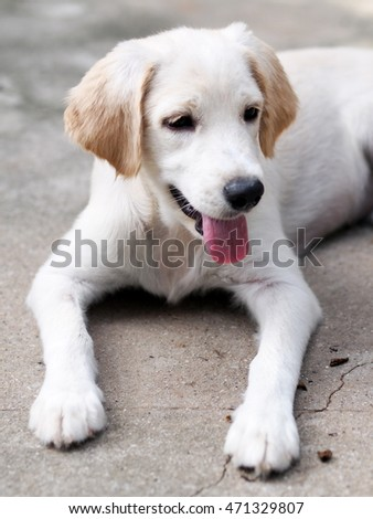 young small cute lovely mini size crossbreed puppy dog from two or more toys purebred white pastel beige colour long fur and ears black eyes playing around portraits closeup