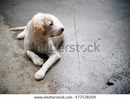 young small cute lovely mini size crossbreed puppy dog from two or more toys purebred white pastel beige colour long fur and ears black eyes playing surrounding with home environment background