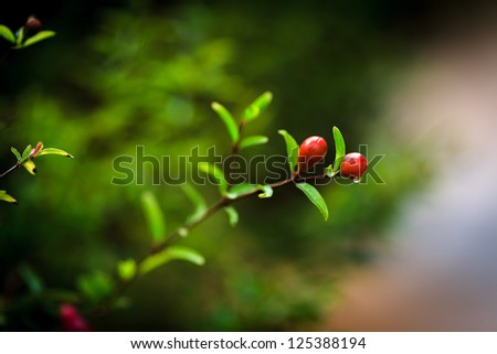 Young small pomegranate on tree branch - stock photo