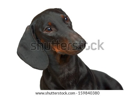 Young smooth black and tan dachshund
