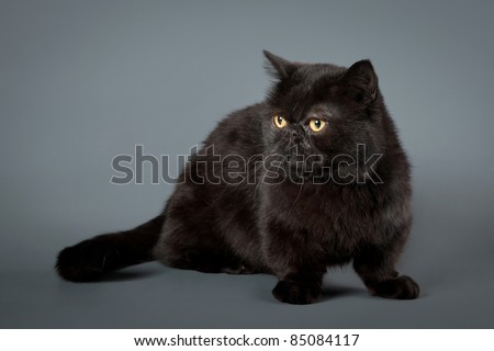 Young solid black manchkin cat on grey  background