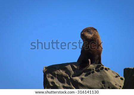young southern brown fur seal sunbathing on rocks near Pouawa, Gisborne, East Coast, North Island, New Zealand