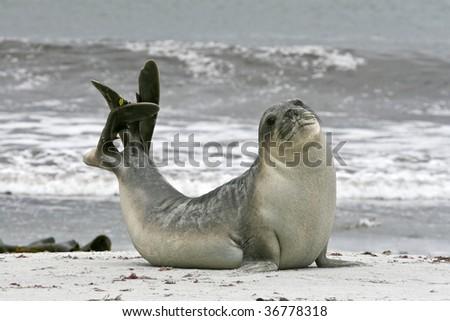 Young southern elephant seal bull (Mirounga leonina) on the beach on Seal Lion Island, Falkland Islands - stock photo