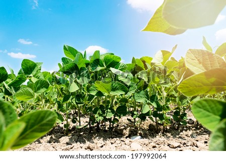 Young soyabean field with sky in background.Selective focus on the front line of soyabean - stock photo