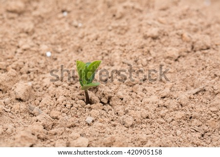 Young Soybean Plant Growing in a Louisiana Field - stock photo