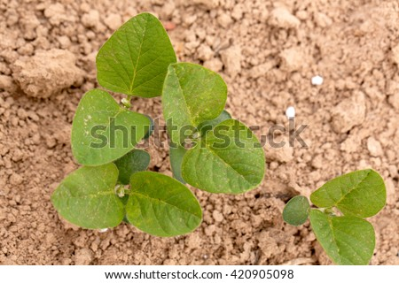 Young Soybean Plants Growing in a Louisiana Field - stock photo