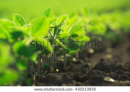 Young soybean plants growing in cultivated field, soybean rows in agricultural field in sunset, selective focus - stock photo