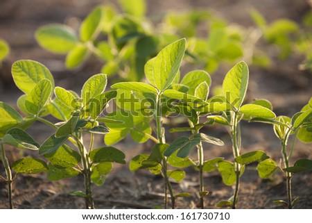 Young soybean plants viewed at a low angle with selective focus - stock photo