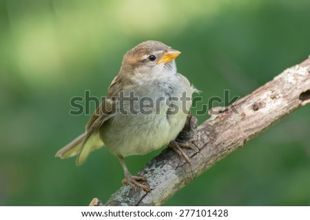 Young sparrow sitting on a tree branch waiting to be fed. - stock photo