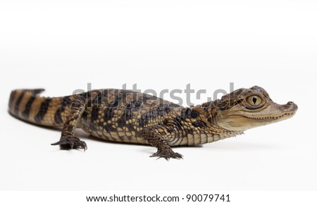Young spectacled cayman on whiteback ground isolated - stock photo