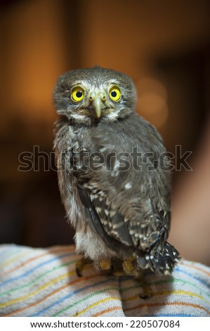 Young spectacled owl sits on a blanket looking forward - stock photo