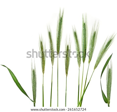 Young Spikelet Barley of green meadow grass isolated on white background - stock photo