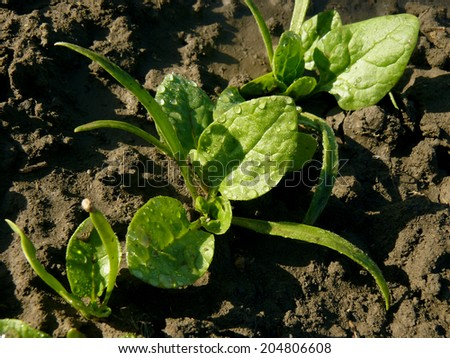 young spinach seedlings growing on a vegetable bed - stock photo