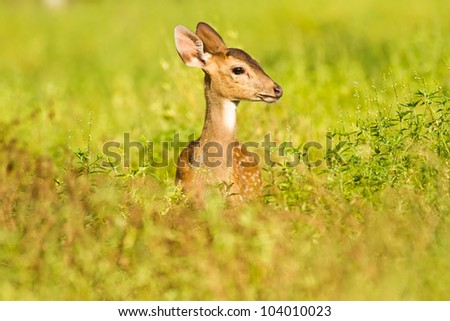 Young spoted deer among the bush