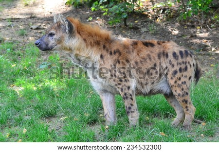 young spotted hyena - stock photo