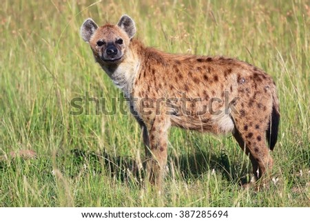 young spotted hyena at the masai mara national park kenya africa - stock photo