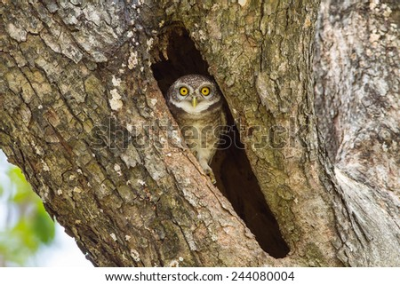 Young Spotted owlet come out to see us in nature - stock photo