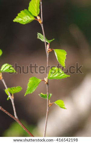 young spring leaves on branches