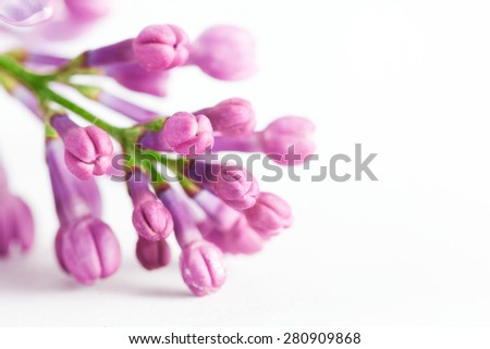 Young spring lilac flowers blooming close-up on white. Syringa vulgaris - stock photo
