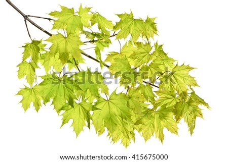 Young spring maple twigs with leaves on a white background. Several twigs of young green leaves. Spring. - stock photo