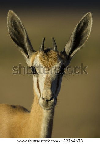 Young springbok in the Kalahari sunrise