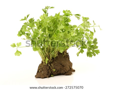 Young sprout in peat tablet, celery plant, isolated on white background - stock photo
