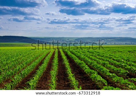 Young sprout lines corn on field with blue sky