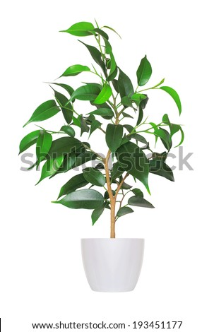 young sprout of ficus a potted plant isolated over white