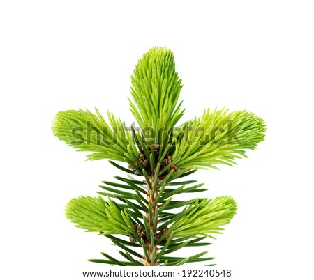 Young sprout of spruce isolated on white - stock photo