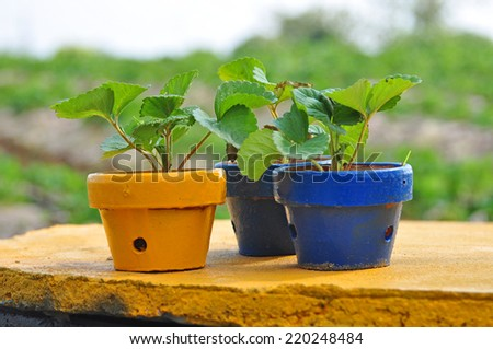 Young sprout strawberries planted in the pot - stock photo