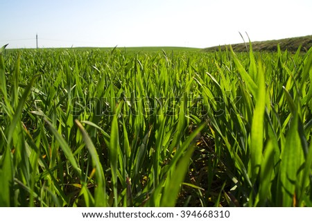 Young sprouts of wheat closeup - stock photo